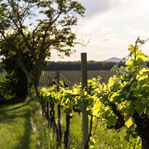 perugia-provincia-vigneto-vino